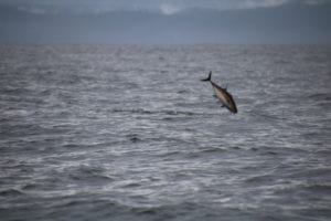 large tuna flying out of water