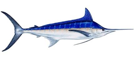 blue-marlin-panama-sport-fish-lodge-boca-chica-coiba