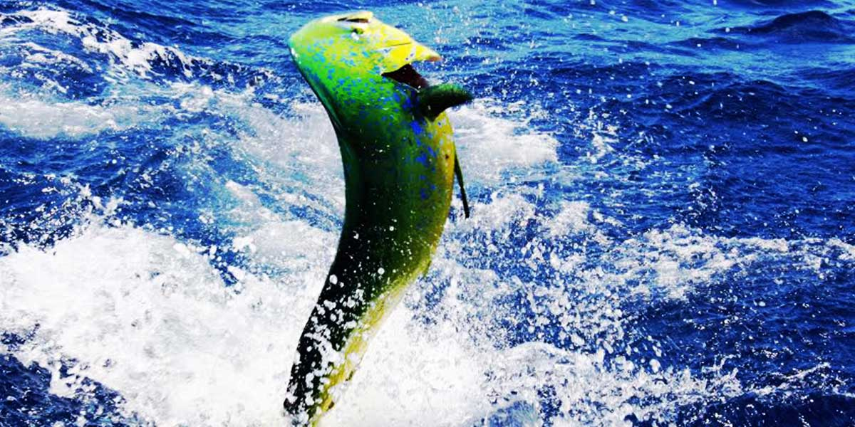 sport fishing panama dorado-charter-fishing-in-panama