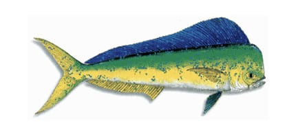 mahe-mahe-dorado-coiba-big-game-sport-fishing-boca-brava