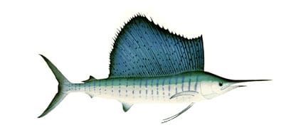 pacific-sail-fish-big-game-sport-fish-lodge-panama-coiba-boca-chica