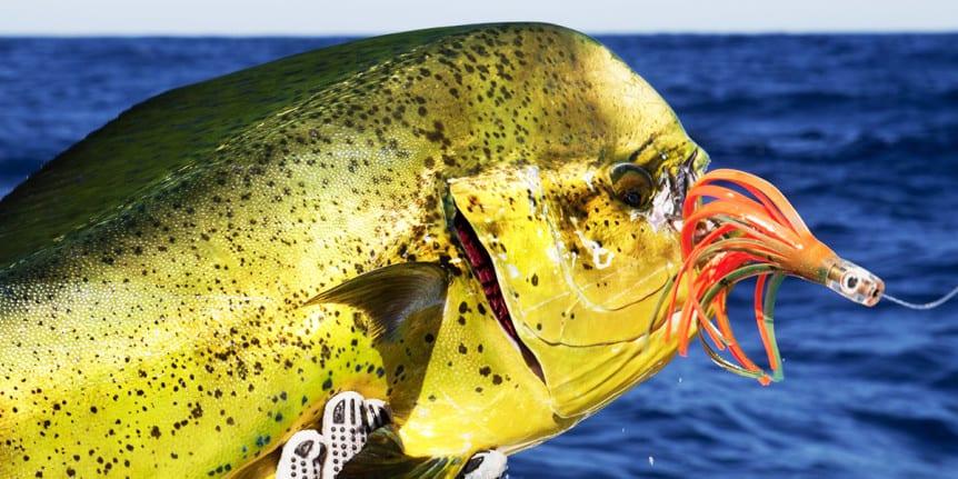 Deep sea fishing panama penn vs shimano for Panama deep sea fishing