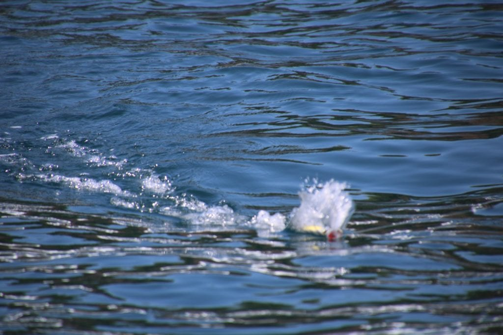 popper striding through water