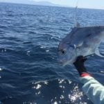 african pompano being released in panama while fishing famed hannibal banks