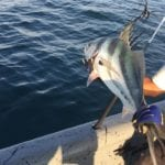releasing a rooster fish in panama while on isla coiba tour