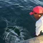 rooster fish reelased while on panama fishing trip